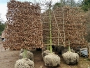 Carpinus betulus pleached - 20-25cm grade - 4 years pleached - 30cm stem - Frame 150x270cm (circa 180x290cm)
