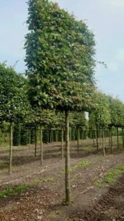 Pleached Carpinus betulus - 25-30cm grade - 5 years pleached - 225cm stem - Frame 160x160cm (circa 180/190x180/190cm)
