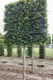 Carpinus betulus pleached - 20-25cm grade - 4 years pleached - 170cm stem - Frame 160x160cm (circa 180x180cm)