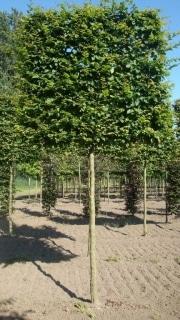 Carpinus betulus pleached - 20-25cm grade - 4 years pleached - 210cm stem - Frame 160x160cm (circa 180x180cm)