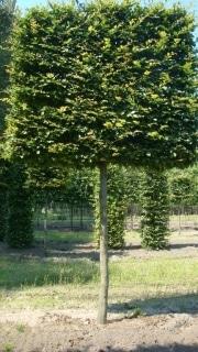 Carpinus betulus pleached - 30-35cm grade - 5 years pleached - 225cm stem - Frame 160x160cm (circa 200x200cm)