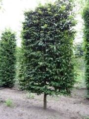 Carpinus betulus pleached - 20-25cm grade - 4 years pleached - 50cm Low pleached stem - Frame 160x250cm (circa 170/180x260cm)