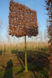 Carpinus betulus pleached - 25-30cm grade - 5 years pleached - 225cm stem - Frame 160x160cm (circa 180/190x180/190cm)