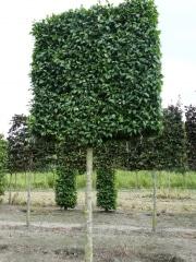 Carpinus betulus 'Lucas' pleached - 30-35cm grade - 5 years pleached - 225cm stem - Frame 220x220cm (circa 230/240 x 230/240cm)
