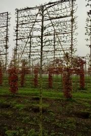 Pleached Carpinus betulus Lucas - 14-16-18cm grade - 2-3 years pleached - 170cm stem - Frame 160x160cm (circa 170x170cm)