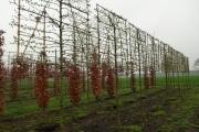 Carpinus betulus 'Lucas' pleached - 14-16-18cm grade - 2-3 years pleached - 170cm stem - Frame 160x160cm (circa 170x170cm)