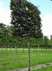 Fagus sylvatica 'Atropunicea' - 20-25cm grade - 160cm wide frame (180cm) - 160cm tall frame (180cm) - Wire rootball