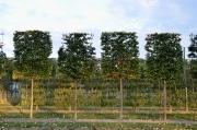 Fagus sylvatica pleached - 200cm stem (190cm) - 160cm wide frame (180/190cm) - 200cm tall frame (230cm) - Wire rootball