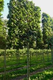 Pleached Fagus sylvatica - 210cm stem (200cm) - 160cm wide frame (180cm) - 160cm tall frame (180cm) - Wire rootball