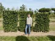 Fagus sylvatica pleached - Low pleached screen - Wire rootball