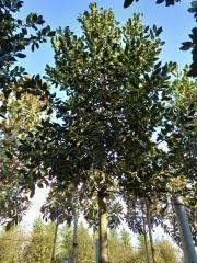 Ilex-aquifolium-Nellie-Stevens-Ti