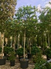 Ilex-aquifolium-nellie-R-Stevens-180cm-150x120cm-14-16-clt90-Mag
