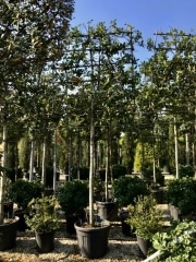 Ilex-aquifolium-nellie-Stevens-25cm-Mag
