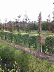Buxus-sempervirens-blocks-100cm-x-50cm-x-50cm-3