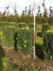 Buxus-sempervirens-blocks-100cm-x-50cm-x-50cm