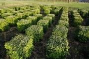 Buxus-sempervirens-cubes-35cm-x-35cm-x-35cm-2