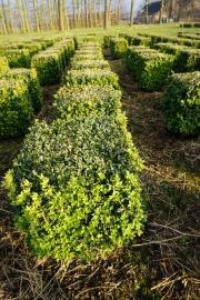 Buxus-sempervirens-cubes-35cm-x-35cm-x-35cm-3