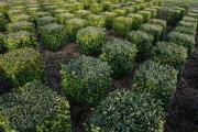 Buxus-sempervirens-cubes-35cm-x-35cm-x-35cm