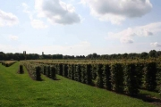 Carpinus-betulus-instant-hedge-plants-160cm-tall-50cm-x-50cm-sides