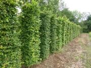 Carpinus-betulus-instant-hedge-plants-220cm-x-50cm-x-50cm