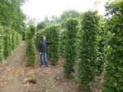 Carpinus-betulus-instant-hedge-plants-230cm-x-50cm-x-50cm