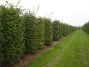 Carpinus-betulus-instant-hedge-plants-250cm-x-100cm-x-100cm-2