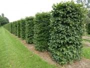 Carpinus-betulus-instant-hedge-plants-250cm-x-100cm-x-100cm-3