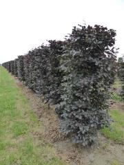 Fagus-sylvatica-Atropurpurea-Copper-Beech-instant-hedge-plants