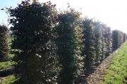 Fagus-sylvatica-Atropurpurea-instant-hedge-plants-210cm-tall-x-70cm-x-70cm-3