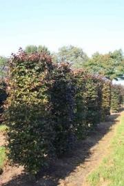 Fagus-sylvatica-Atropurpurea-instant-hedge-plants-210cm-tall-x-70cm-x-70cm