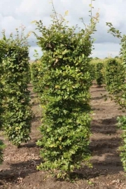 Fagus-sylvatica-instant-hedge-plants-200cm-tall-x-50cm-x-50cm-2