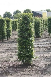 Fagus-sylvatica-instant-hedge-plants-200cm-tall-x-50cm-x-50cm