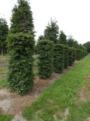 Fagus-sylvatica-instant-hedge-plants-220cm-x-80cm-x-80cm