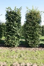 Fagus-sylvatica-instant-hedge-plants-240cm-x-80cm-x-80cm