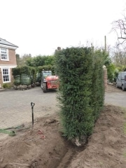 Taxus-baccata-inatant-hedge-plants-225cm-x-60cm-x-60cm-planted-in-Weybridge