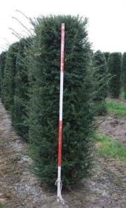 Taxus-baccata-instant-hedge-plants-200cm-x-50cm-x-50cm