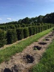 Taxus-baccata-instant-hedge-plants-50cm-tall-x-45cm-x-45cm-2