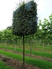 Acer campestre 'Elsrijk' - 30-35cm grade - 5 year pleached - 210cm stem Frame - 160x160cm (circa 180x180cm) - Wire Rootball