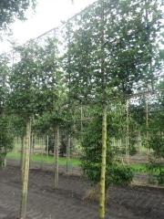 Acer campestre 'Huibers Elegant' (mildew free) - 16-18cm grade - 4 years pleached - 210cm stem - Frame 160x160cm (circa 160x160cm)