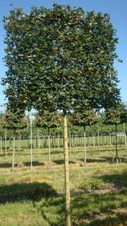 Acer campestre 'Huibers Elegant' (Mildew free) - 18-20cm grade - 3 years pleached - 210cm stem - Frame 160x160cm (circa 170x170cm)