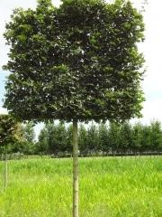 Pleached Acer campestre 'Huibers Elegant' (Mildew free) - 25-30cm grade - 4 years pleached - 210cm stem - Frame 160x160cm (circa 180x180cm)