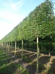 Acer campestre 'Huibers Elegant' (Mildew free) - 25-30cm grade - 4 years pleached - 210cm stem - Frame 160x160cm (circa 180x180cm)
