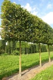 Pleached Acer campestre 'Huibers Elegant' (Mildew free) - 30-35cm grade - 5 years pleached - 210cm stem - Frame 160x160cm (circa 180/190x180/190cm)