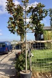 Magnolia grandiflora 16-18cm grade 200cm stem 180cm wide frame 120cm tall frame Container