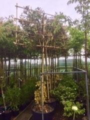 Magnolia grandiflora 12-14cm grade 200cm stem 150cm wide frame 120cm tall frame Container