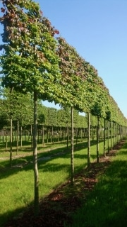 Parrotia persisca pleached 18-20cm grade 210cm stem Frame 160cm wide x 160cm tall Wire rootball