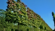 Parrotia persisca pleached 20-25cm grade 210cm stem Frame 160cm wide x 160cm tall Wire rootball