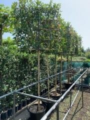 Photinia pleached 10-12cm grade 160cm stem Container