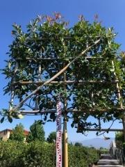 Photinia pleached 10-12cm grade 180-185cm stem 120cm wide frame x 120cm tall frame Container 90clt
