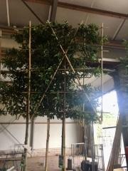 Prunus lusitanica Angustifolia 10-12cm grade 180cm stem Frame 120cm wide x 150cm tall Container